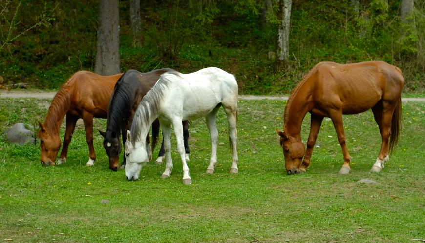 equine probiotics