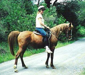 Arabian Trail Horse on Stable.com