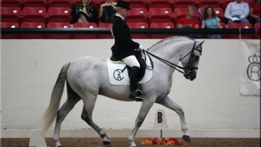 Andalusian Stallion for Sale