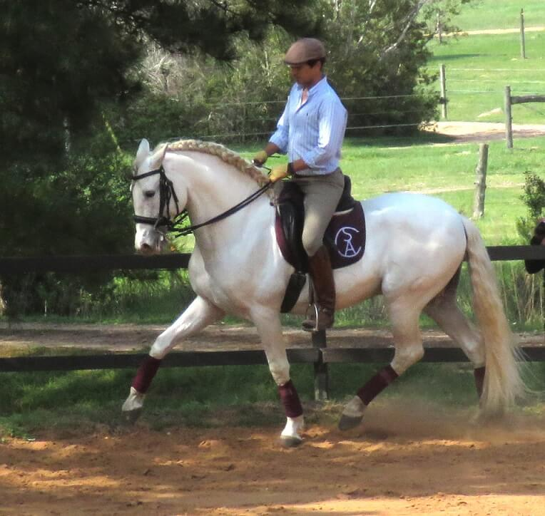 Imported PRE Andalusian Stallion Classically Trained