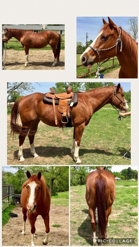 Sweet gentle QH Mare needs a JOB