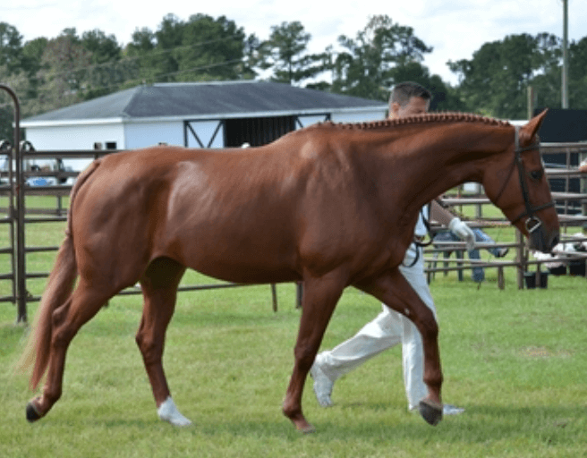 Oldenburg jumper with extensive show record