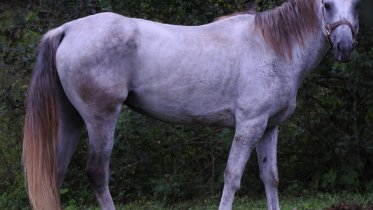 Quarter Horse Gray Mare 7 yrs. old