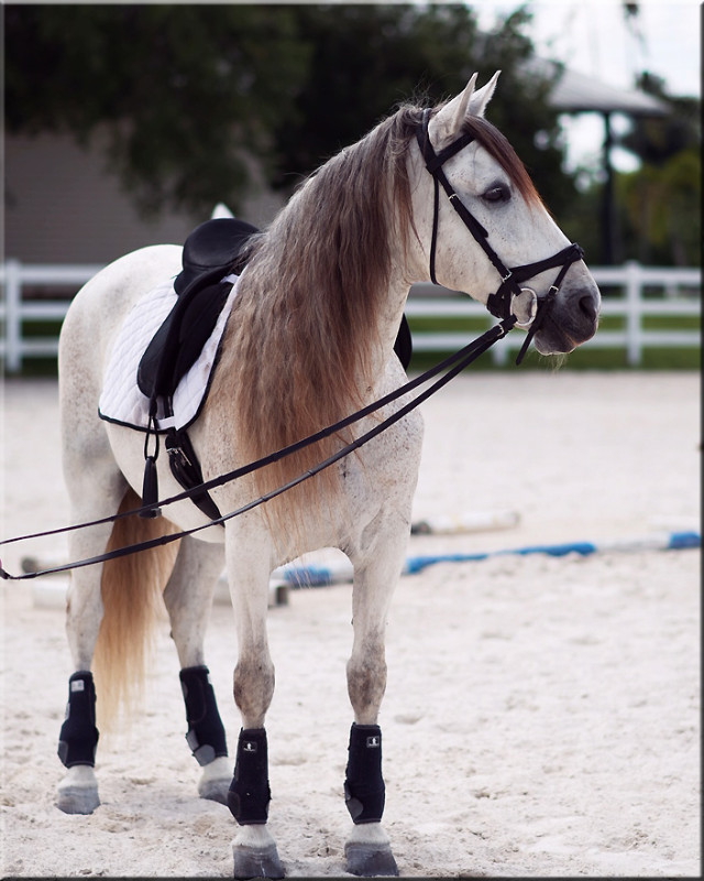 2005 Andalusian Dressage Gelding With Dressage & Trick Training