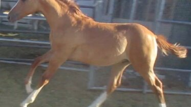 RED DUN ROAN COLT RUNNING & COW BRED FAST, ATHLETIC, POWER