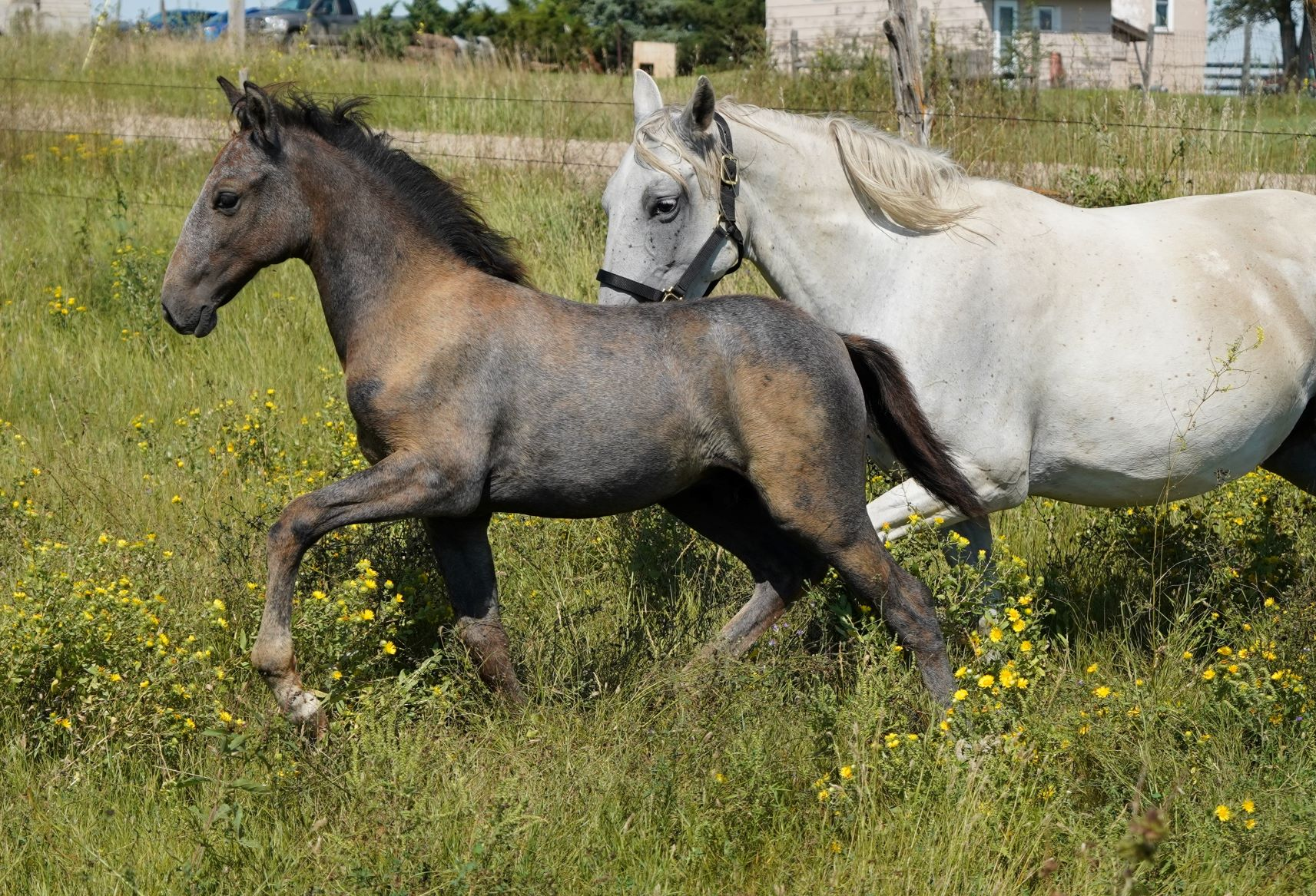 Stunning & Athletic Lipizzan-Lusitano Weanling